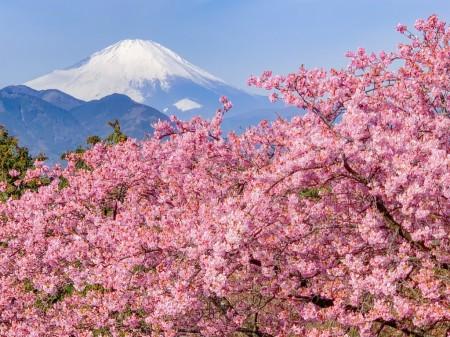 まつだ桜まつり2018で河津桜と富士山