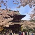 建長寺の桜が今まさに見頃!