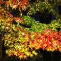長谷寺の紅葉ライトアップ、スタート。見頃は12月に入ってから?