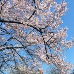 青山霊園で六本木ヒルズと桜