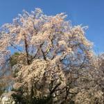 六義園の桜