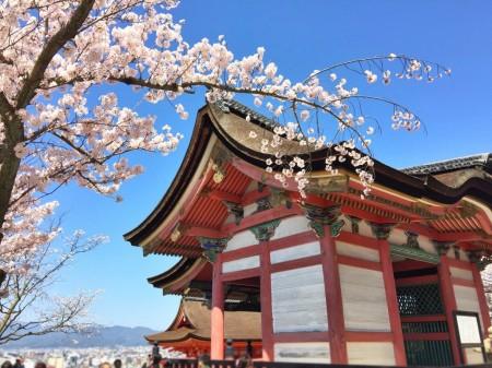 清水寺の経堂と桜