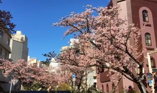 熱海の早咲き桜