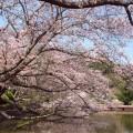 鶴岡八幡宮の桜が一番きれいに見える場所