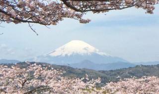 吾妻山公園の桜と富士山
