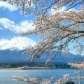 河口湖長崎公園界隈の桜をゆるく楽しむ
