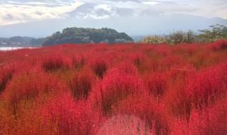 富士山と河口湖のコキア紅葉