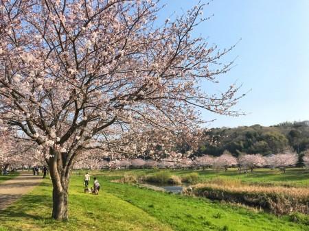 引地川親水公園の桜