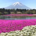 ピークが例年よりも1週間遅れている、富士芝桜まつり