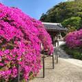 鎌倉・安養院の樹齢100年超のツツジは大迫力