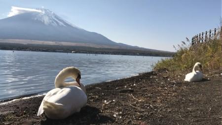 山中湖の白鳥と富士山