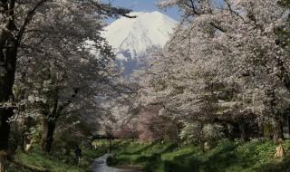 忍野八海の富士山と桜