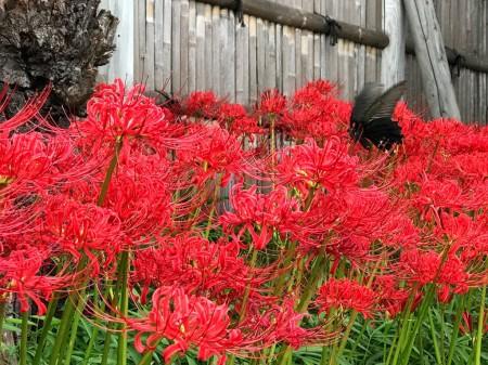 鎌倉 鶴岡八幡宮の彼岸花と蝶