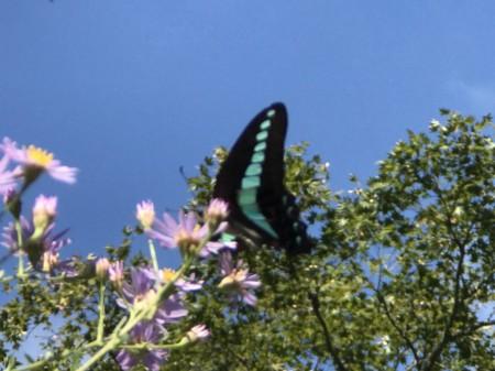 鎌倉 海蔵寺のシオンと蝶