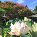 サルスベリの名所、本覚寺にはハスとフヨウも