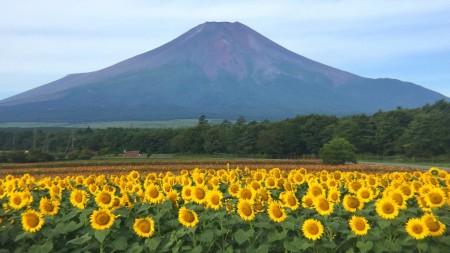 山中湖花の都公園のひまわりと富士山