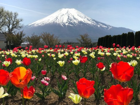 花の都公園のチューリップと富士山