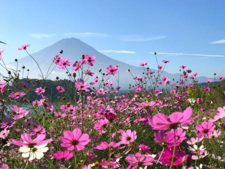 河口湖のコスモスと富士山