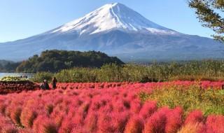 河口湖のコキア紅葉と富士山