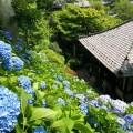 長谷寺のあじさいなど美しい花々をiPhoneで撮る