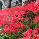 鶴岡八幡宮のヒガンバナ