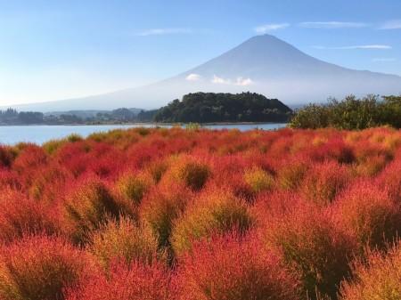 河口湖のコキアの紅葉と富士山
