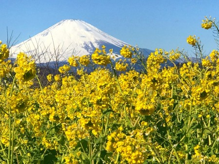 吾妻山公園の菜の花と富士山
