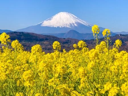 二宮、吾妻山公園の菜の花と富士山