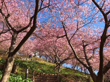 まつだ桜まつりで河津桜と菜の花