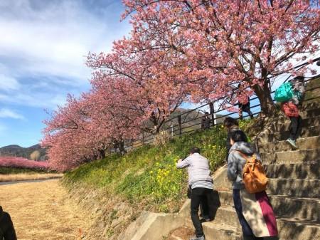 河津町の河津桜
