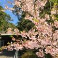 甘縄神明神社の玉縄桜をiPhoneできれいに撮る