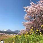 幸せ道の春めき桜と菜の花