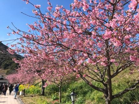 河津駅前の桜並木