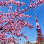 プリンス芝公園で河津桜と東京タワー