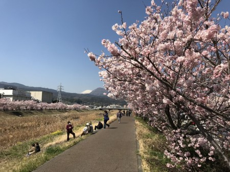 幸せ道の春めき桜と富士山