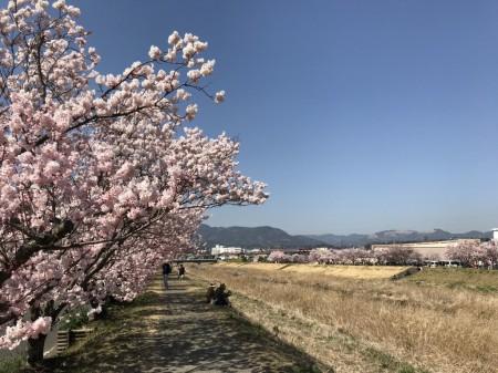 春木経の春めき桜