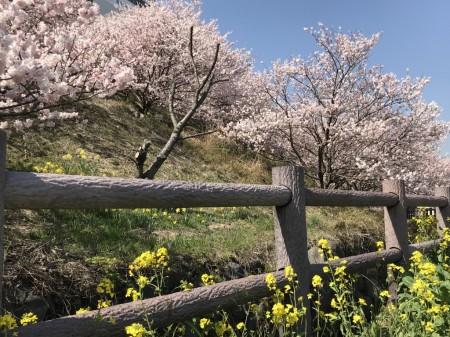 一の堰ハラネ春めき桜と菜の花