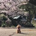 猫寺・光明寺でのベストショットはワンちゃんと桜の一枚