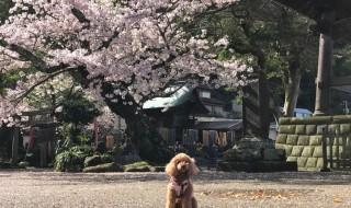 鎌倉 光明寺の桜
