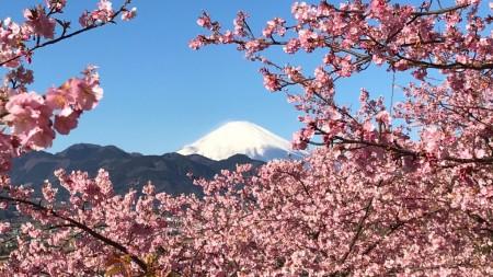 まつだ桜まつりの撮影スポットの脚立から撮った富士山と河津桜
