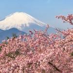 まつだ桜まつりで河津桜と富士山
