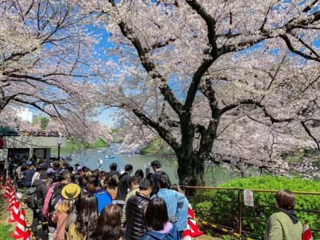 千鳥ヶ淵緑道の桜2019