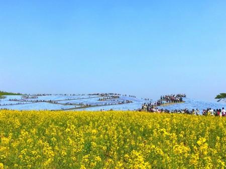 ひたち海浜公園のネモフィラと菜の花