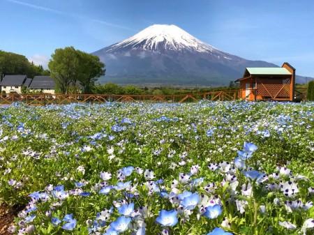 山中湖花の都公園の富士山とネモフィラ