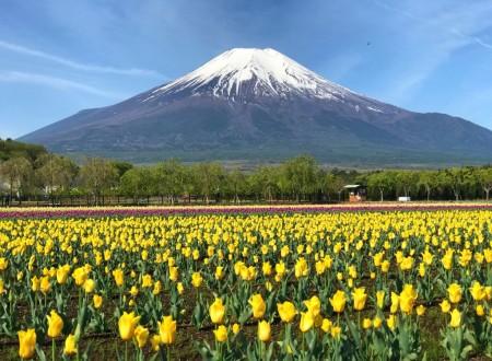 山中湖花の都公園の富士山とチューリップ