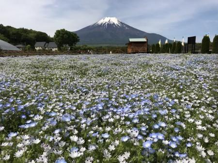 花の都公園のネモフィラと富士山