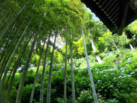 長谷寺の竹林とあじさい