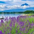 富士山とハーブの共演、河口湖ハーブフェスティバル