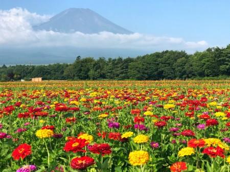 花の都公園の百日草と富士山2018