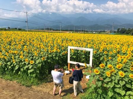 明野サンフラワーフェス3番畑